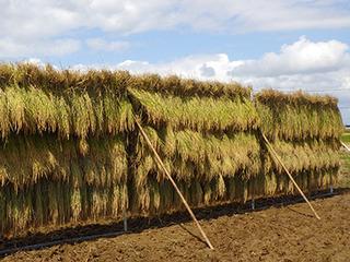 稲刈り2015-4