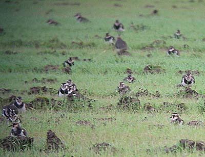 干拓地の畑の中に隠れていたタゲリの群れ